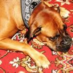 dog-on-rug